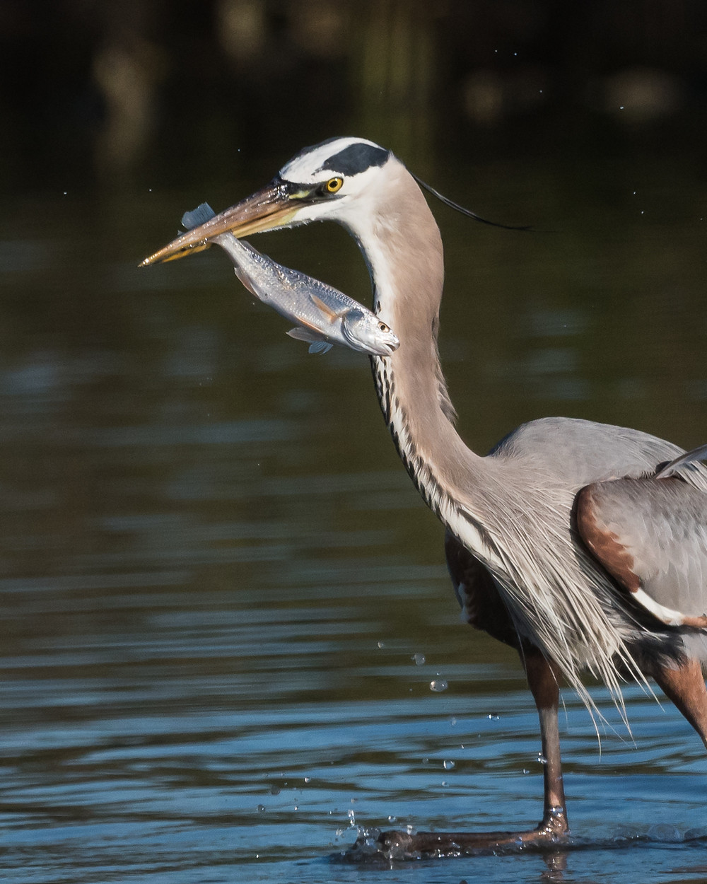 Great Blue Heron with fish, Galveston, TX