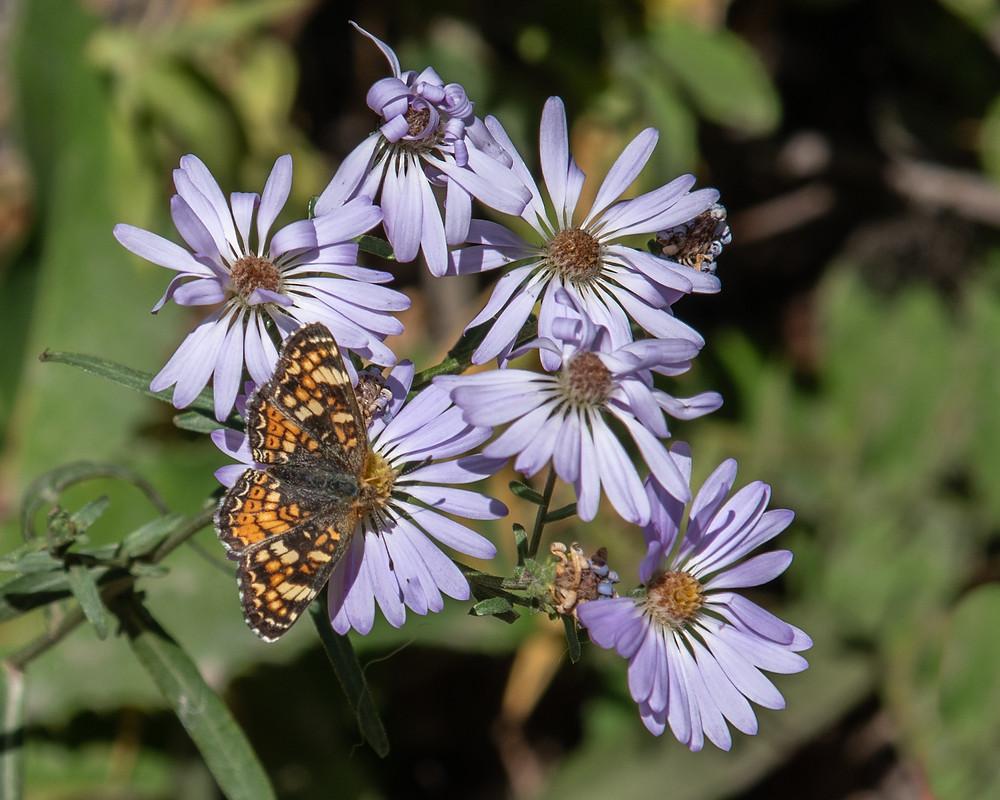 Butterfly on purple flowers, WY.