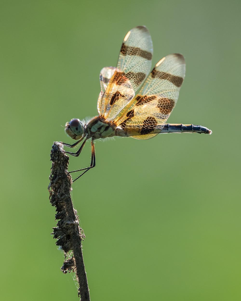 Dragonfly resting, Kenilworth Aquatic Gardens, D.C.