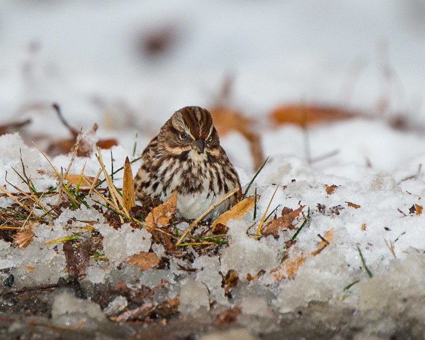 Song Sparrow in snow.