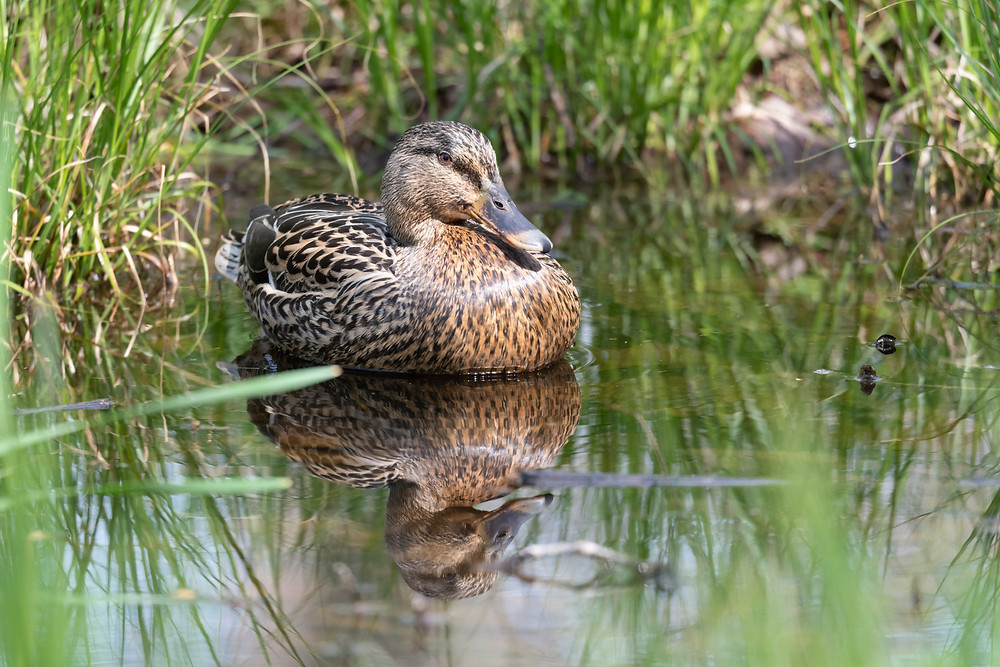 Female mallard reflected in still water surrounded by grasses.