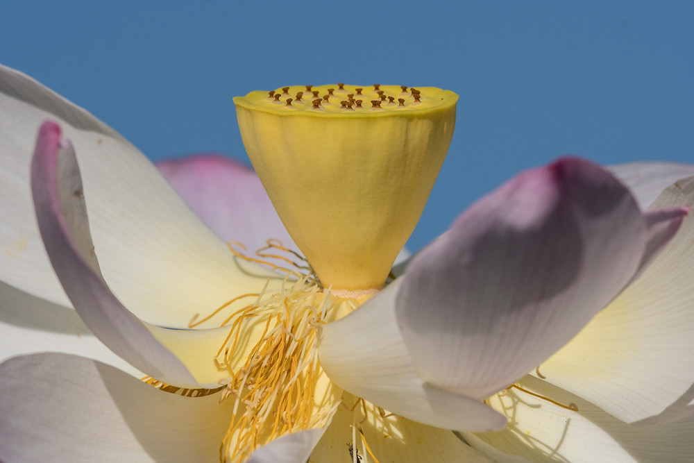 Lotus blossom, Kenilworth Aquatic Gardens, D.C.