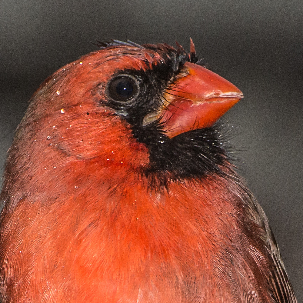Northern Cardinal, male, Annapolis, MD