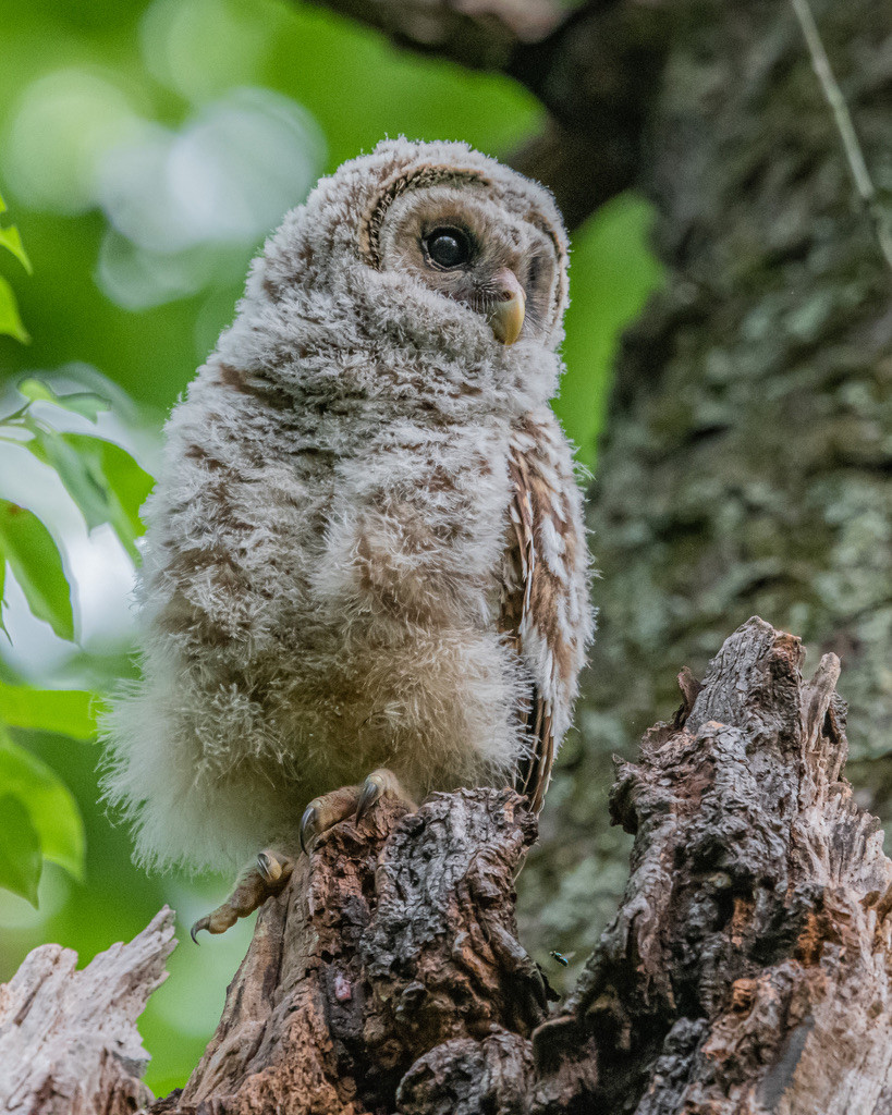 Bared owl fledgling, Annapolis, MD