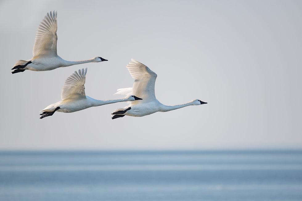 flying swans better.jpg
