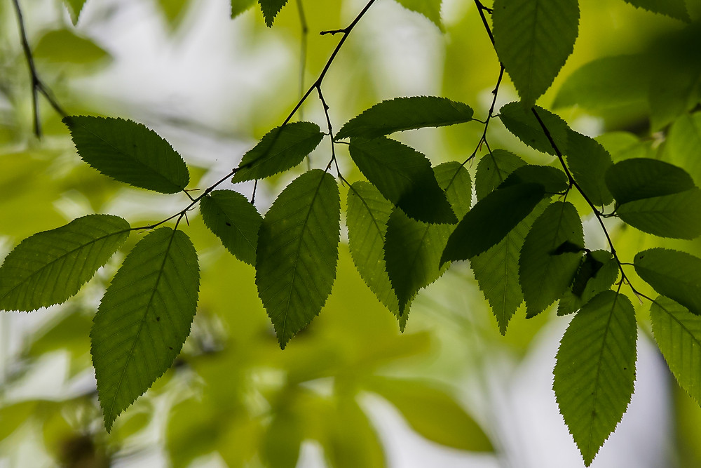Leaves in woodland, Maryland