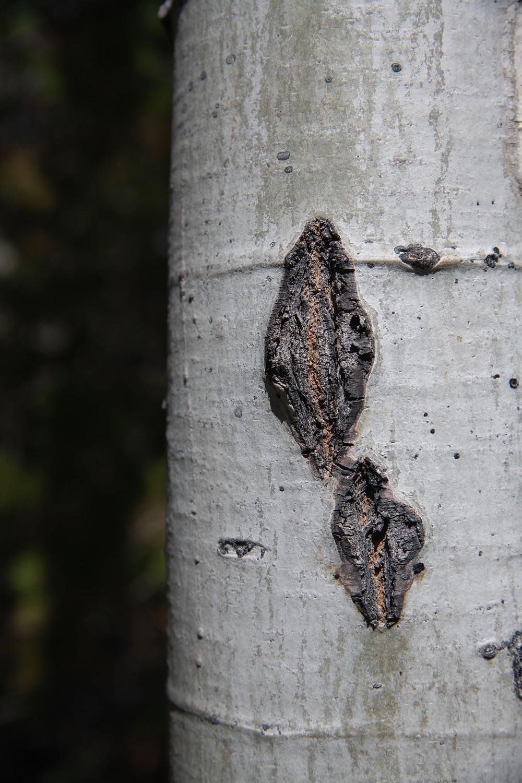Bark of aspen, Wyoming