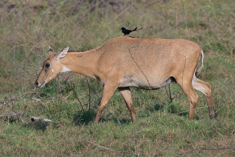 Nilgai antelope and Black Drongo, Keoladeo, India.