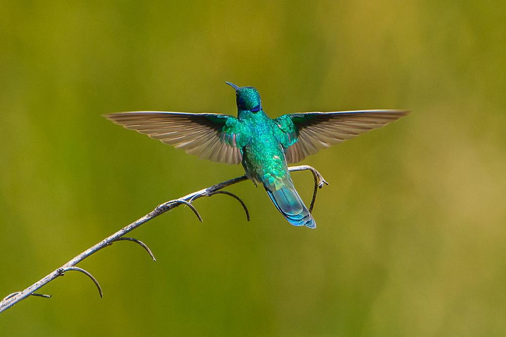 Hummingbird, Peru 2015