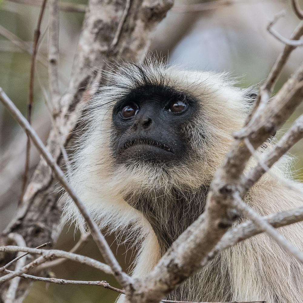 Langur Monkey, Madhya Pradesh, India