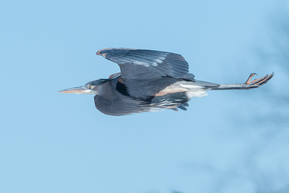 Great Blue Heron flying on winter day.