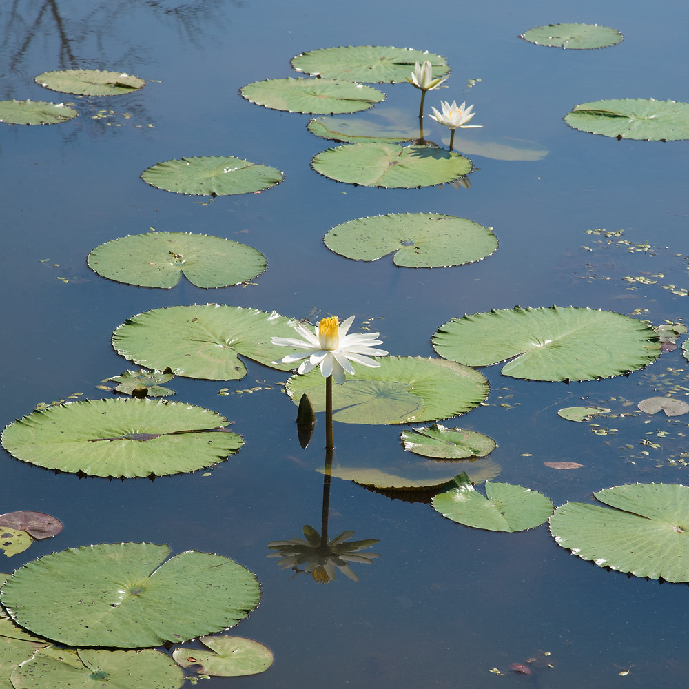 Pond lilies, Kenilworth Aquatic Gardens, D.C. July 2017