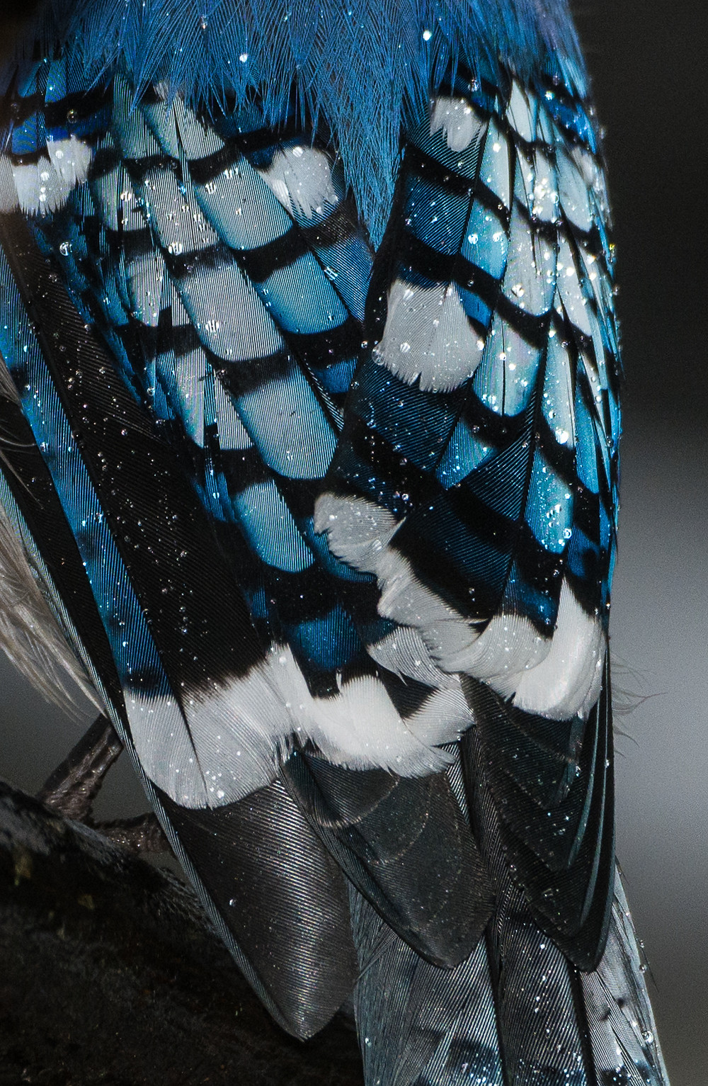 Blue Jay feathers in rain