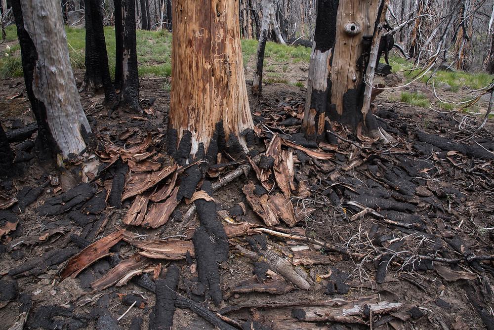 Charred fallen bark
