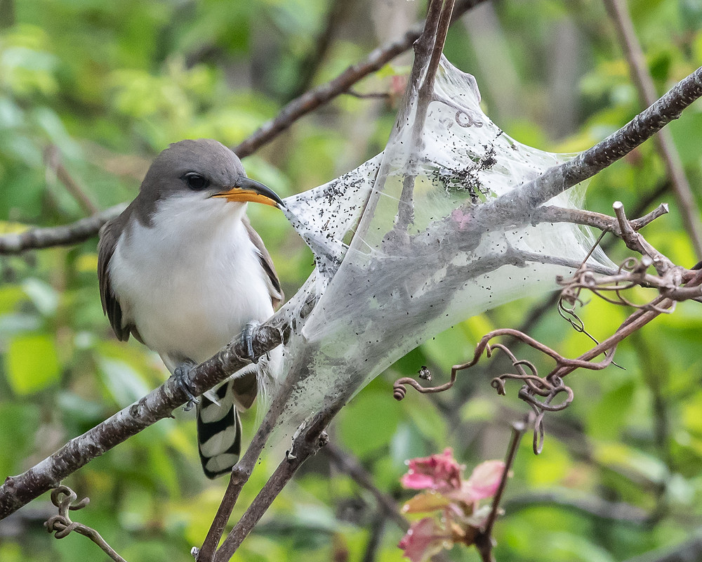 Yellow-billed Cuckoo eating caterpillars, NJ, 5/7/18