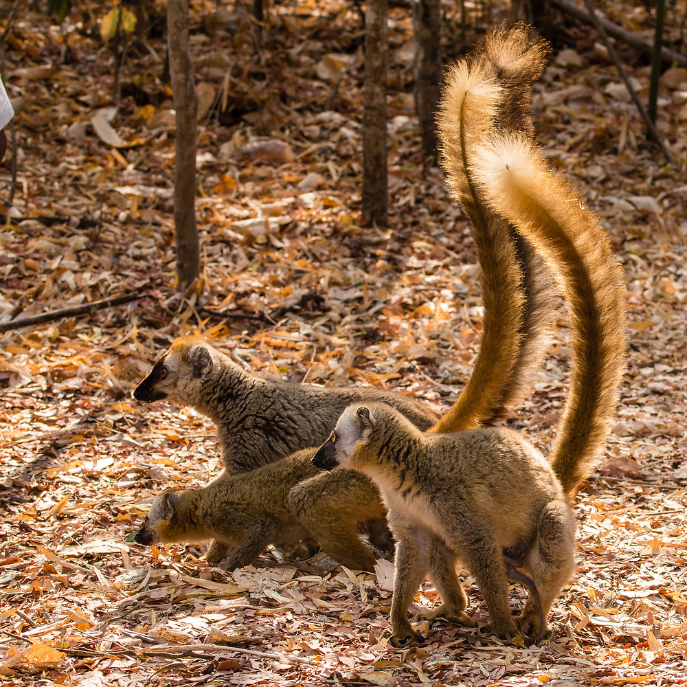 Brown lemurs with tail backlit by sun