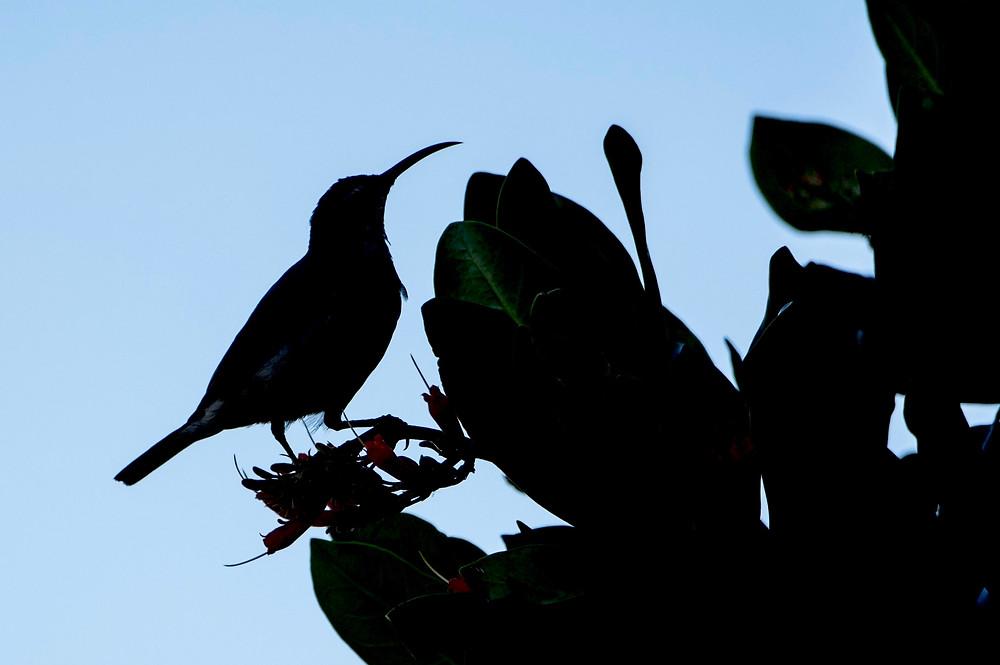 Sunbird, South Africa