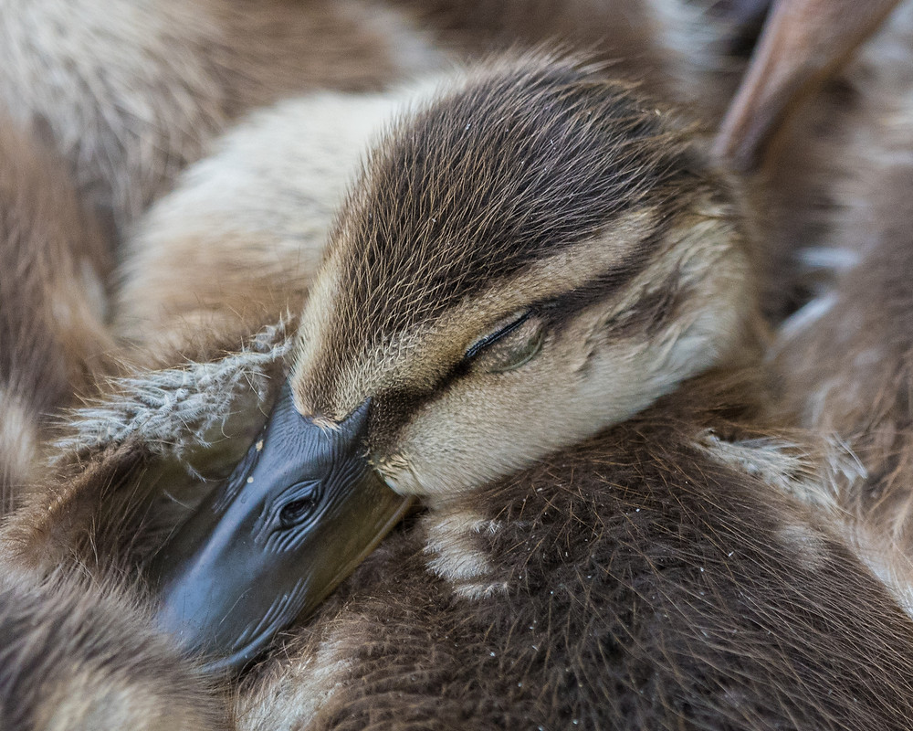 Sleeping Mallard Duckling