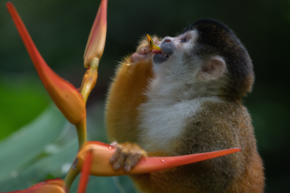 Squirrel Monkey eating Heliconia Blossoms, Costa Rica