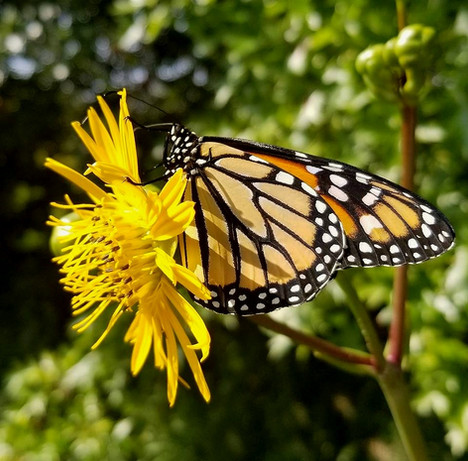 Monarch Butterfly after a release in Schaumburg