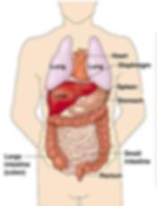 Internal View of Body