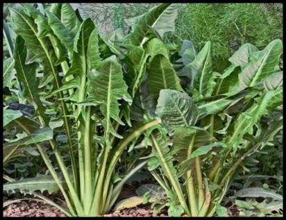 Health benefits of Kasini (chicory)