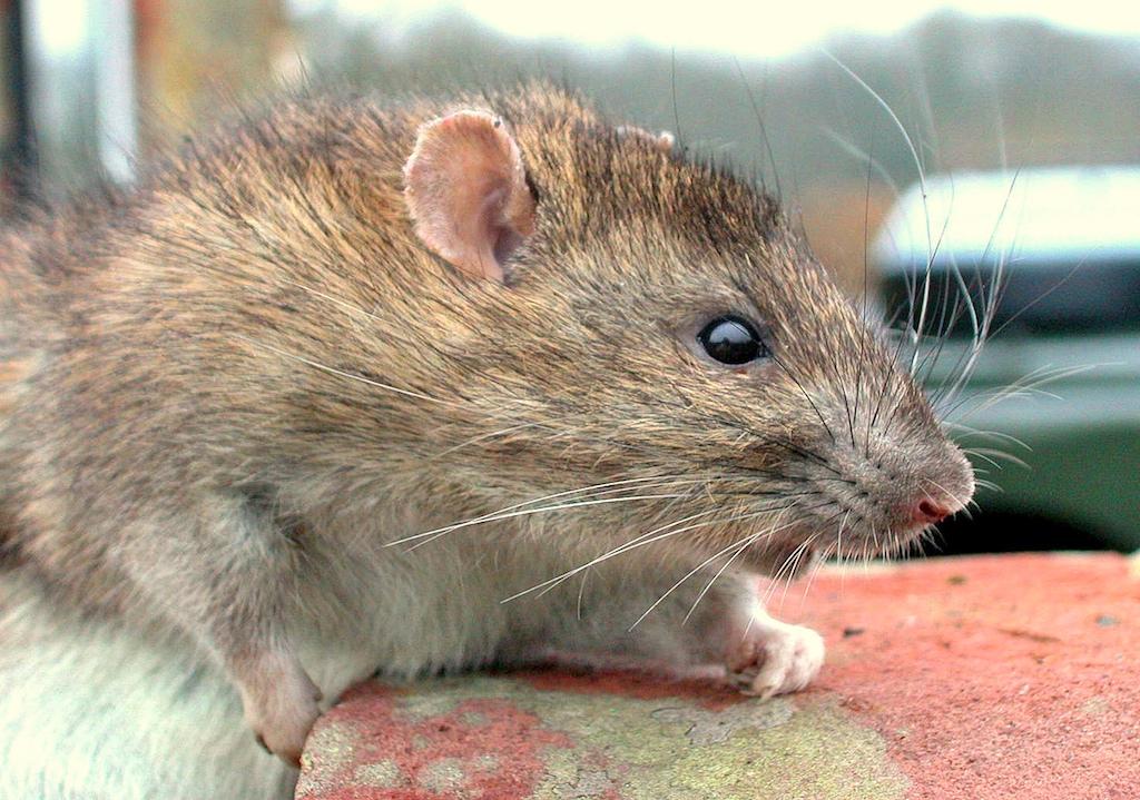 rat010-4616.jpg