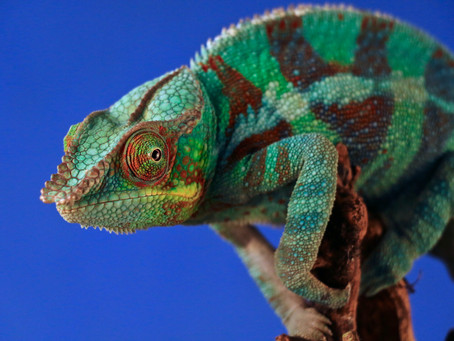 Love Chameleons:  What Are They, and Are YOU One?