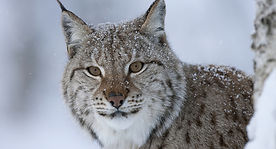 Lynx, outdoor photography, guided natural history trips, nature, wildlife, nature walks, guided walks