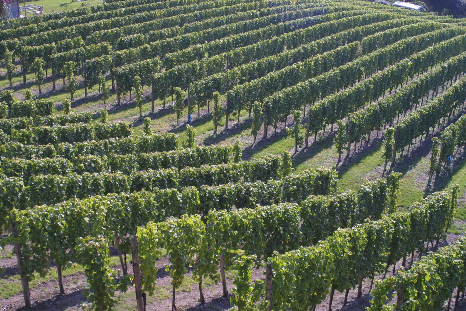 Vineyard in Remisch, Luxembourg