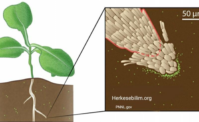 Mikroplastikler bitkileri de etkiliyor