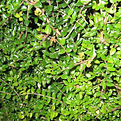 Lonicera-Nitida-Hedge-Close-Up.jpg