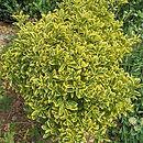 Euonymus-japonicus-Aureomarginatus-84069