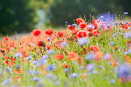 field-of-poppies-364162_1920.jpg