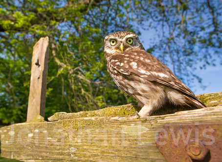 Little Owl hide dates just released!