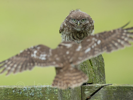 Little Owl hide young have left the nest!