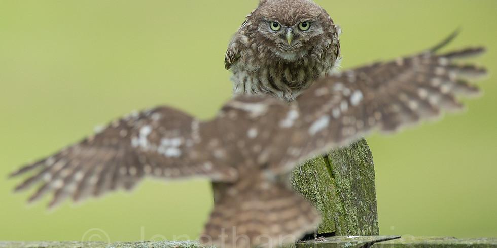 Little owl hide