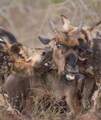 Wild Dogs Vs. Wilderbeest.jpg