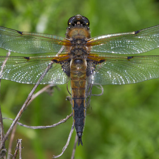 Four spotted chaser.jpg