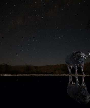 Buffalo at the overnight hide, this doesn't quite capture it but it was only 4 metres away, what an experience!