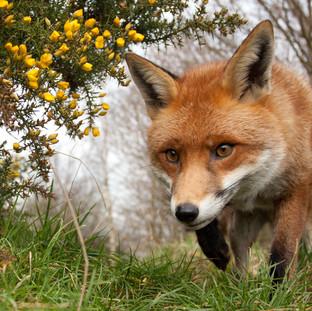 fox walking.jpg