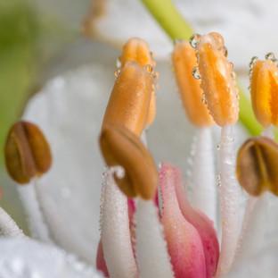 Flowering rush close up.jpg