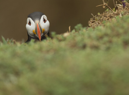 Skokholm puffin photography 2016 – one space available