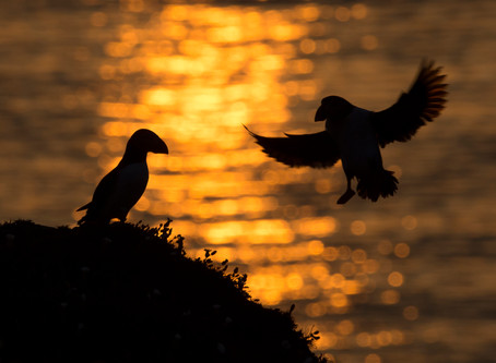 Skokholm puffin photography 2016 dates released