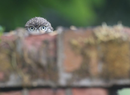 Little Owl August dates released!