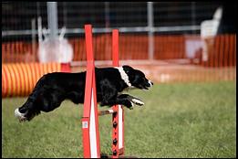 Dog doing Agility - Dogschool