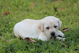 Labrador Puppy - Puppy School Gold Coast