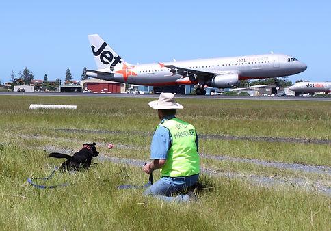 Bird Strike Dispersal Dog at Coolangatta Airport