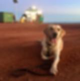 Edna- Cane Toad Detection Dog