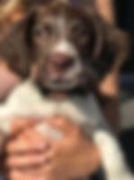 Flare - Springer Spaniel Puppy - Puppy Training Logan